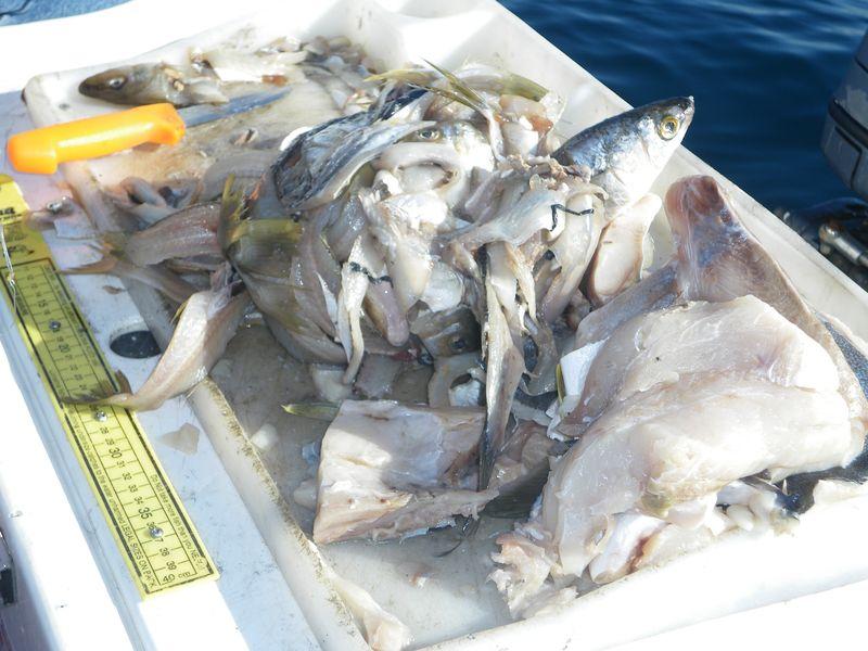 Kingfish bait