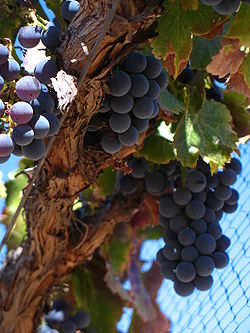 Grenache_grapes_on_vine