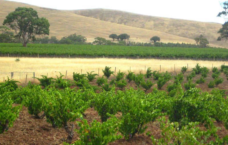 Bush Vine Grenache-Charles Melton